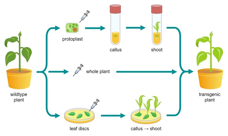 plant-transgenesis-gatrea